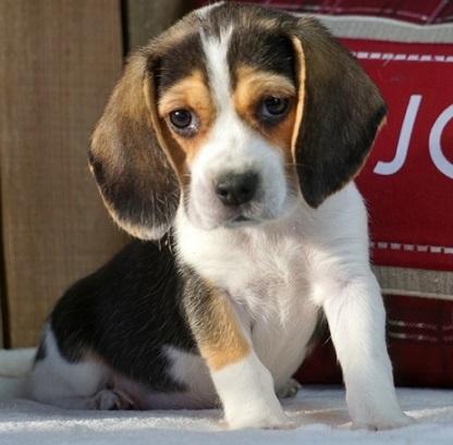 Beagle Cachorros Para Adopcion