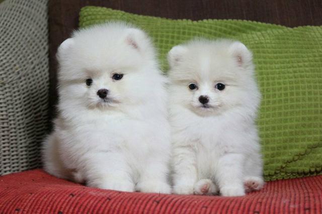 Cachorro de Pomerania inestimable blanco para la adopción