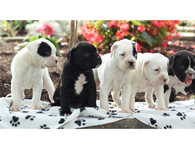 REGALO cachorro Boxer para adopcion