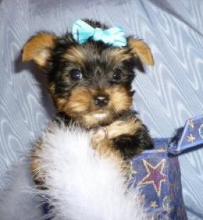 Cachorros Border Collie Puros.....ecellent pup de adopsion