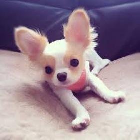 Se Venden Cachorros De Chihuahua