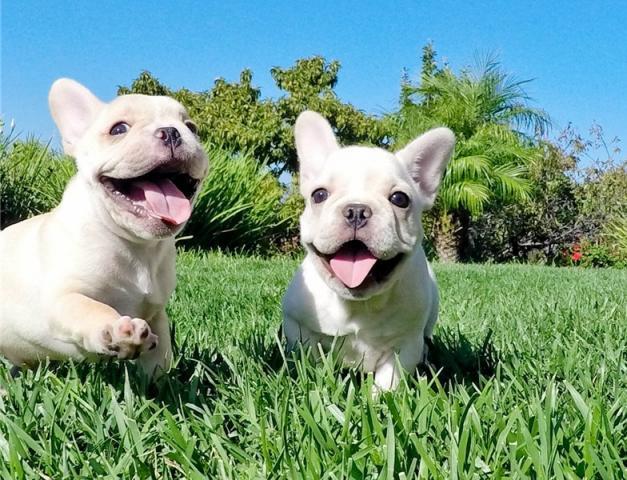 Regalo Bulldog francés-nacionales