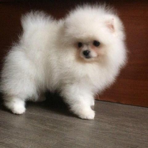 Regalo Pomerania Cachorros disponibles