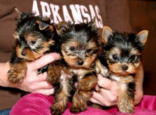 Regalo MINI Cachorros Yorkshire Terrier