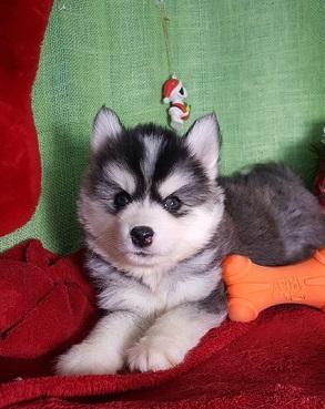 lindo siberian husky cachorros para adopcion