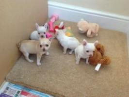Regalo chihuahua cachorros Para adoptcion