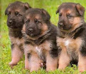 Regalo Cachorros Pastor Aleman Para Adopción