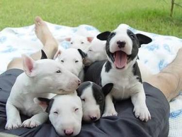 Regalo Cachorros Bull Terrier Minatura en adopcion