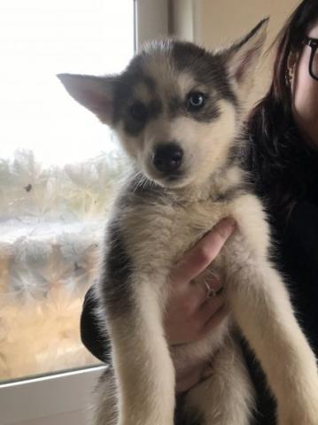 Azule cachorros Husky siberiano