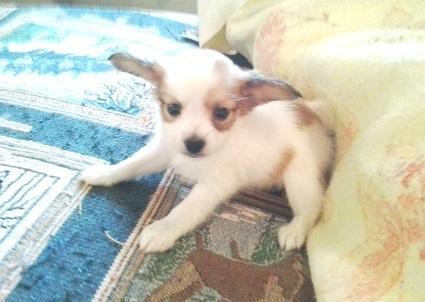 Lindo preciosa papillion cachorros para adopción
