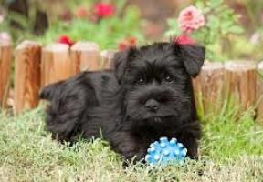 Regalo maravilloso cachorros Schnauzer muy lindo.