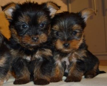 AKC registro taza de té Yorkie cachorritos para regalo