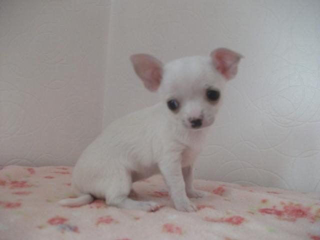 Cachorros Chihuahua, super mini, pelo corto, vacunados, desconcha