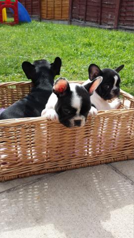 Navidad cachorros de bulldog frances