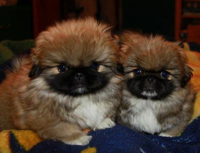 REGALO cachorros de pekines