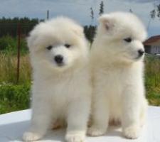 Regalo cachorros de samoyedo