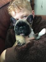 Regalo Bulldog frances para la adopcion