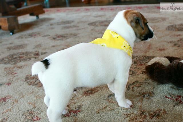 Disponibles cachorros de jack russell