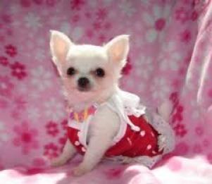 Regalo Chihuahua Cachorros nuevo