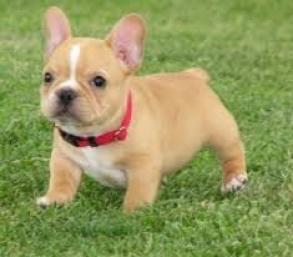 Regalo bulldog frances cachorros para adopcion