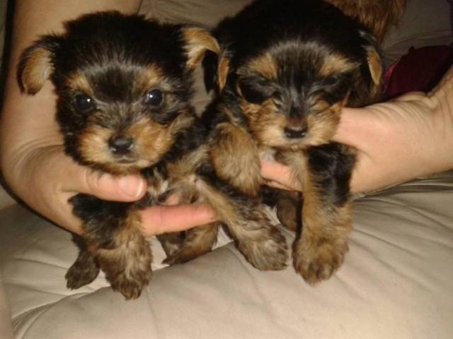 REGALO Yorkshire Terrier Para Adopcion