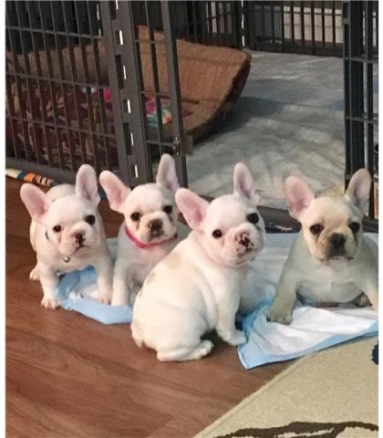 REGALO Pug Carlino para su Adopción