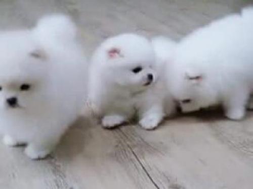 Regalo Pomerania cachorros macho y hembra para adopcion