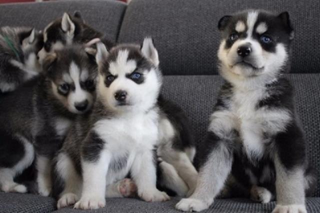 Cachorros Husky son espectaculares y muy sociables.Regalo
