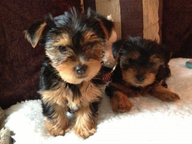 Cachorros Yorkshire terrier son espectaculares y muy sociables