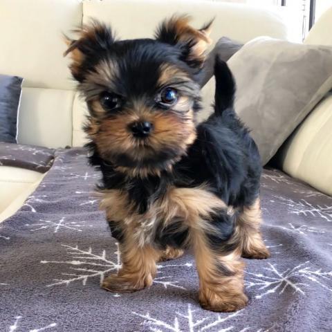 Cachorro yorshire de raza,