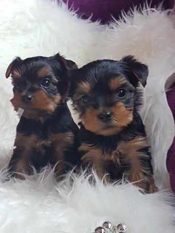 Listos para la. entrega disponible preciosa camada perros Yorkshi