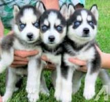 Regalo Cachorros Siberian Husky Macho y Hembra Para Su Adopción