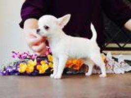 Perrito amistoso de Chihuahua