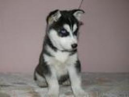 Akc registrado cachorros de husky siberiano