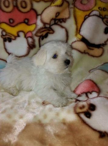 Regalo de Bichon maltés cachorritos