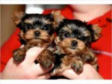 Regalo toy cachorros yorkshire terrier para adopcion