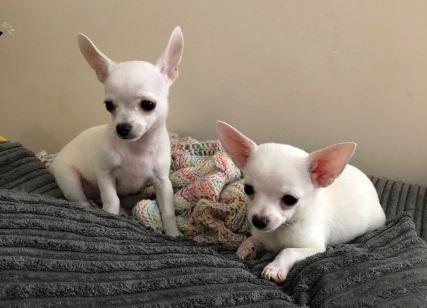 Regalo Perrito Chihuahua mini toy para adopción.