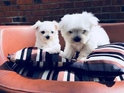 REGALO Lindos Bichón Maltés Mini Toy Cachorros Para Su Adopción