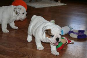 Disponible cachorra hembra de Bulldog Ingles 2 meses