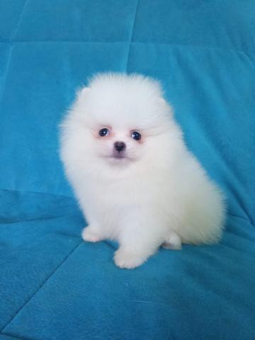 Cachorros de Pomerania disponibles para adopción