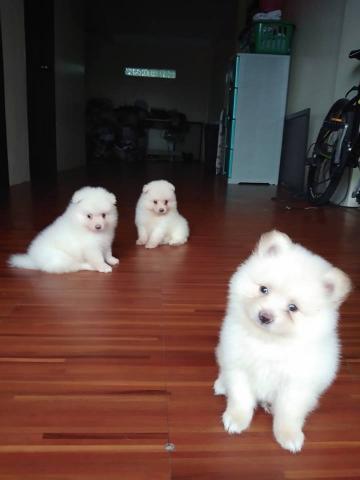 ultimo cachorros de pomerania