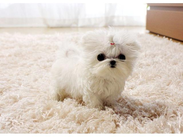 Regalo Preciosos cachorros de bichon maltes