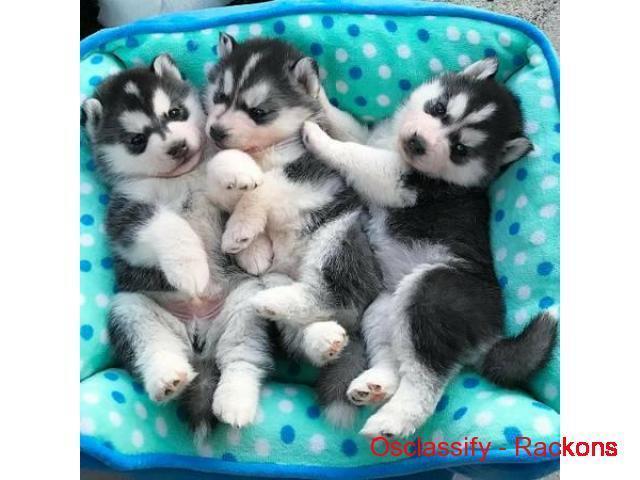 Regalo camada de preciosos siberian husky cachorros para Navidad