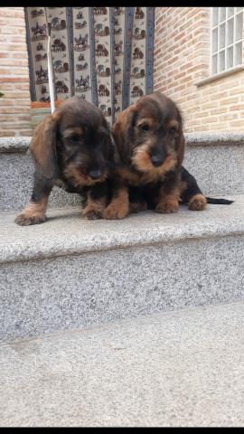 Preciosos cachorros Teckel pelo duro tamaño con pedigree