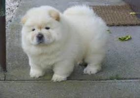 CHOW CHOW ENC HOW CHOW EN ADOPTION