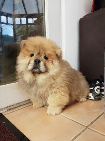 CHOW CHOW EN ADOPTION