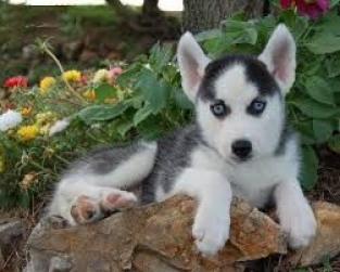 Regalo camada de preciosos siberian husky cachorros para adopcio