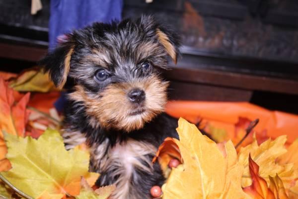 Regalo cachorros toy de yorkshire terrier mini para adopcion