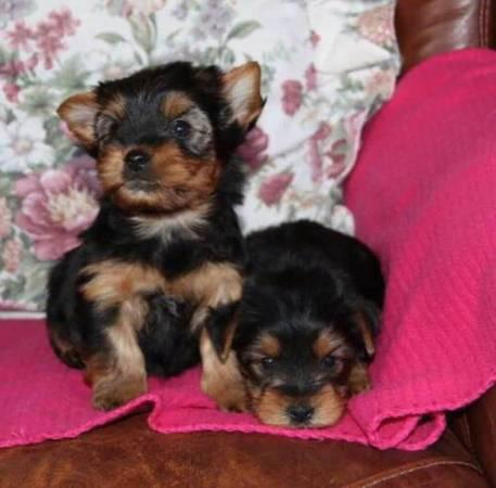 Regalo angelical yorkshire terrier cachorros