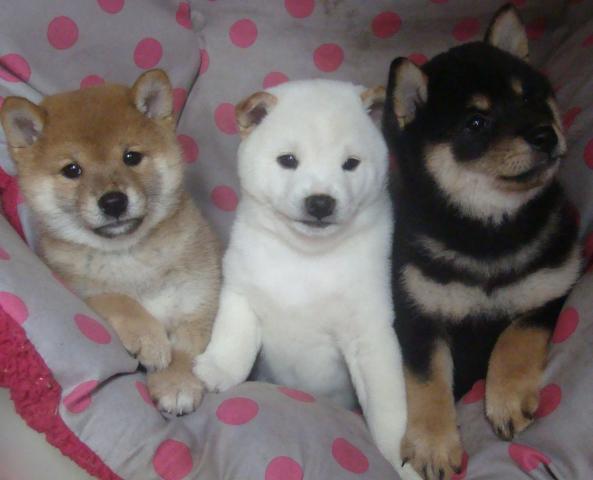 Preciosos cachorros de SHIBA INU